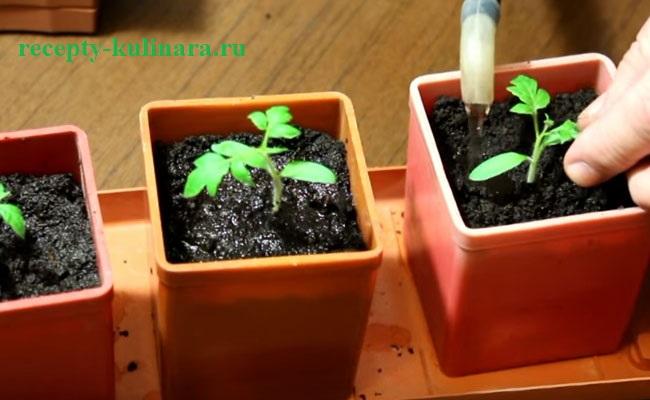kogda-sazhat-pomidory-na-rassadu